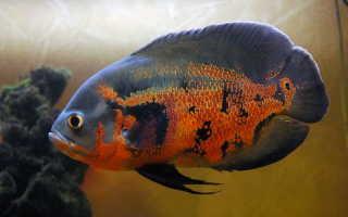 Астронотус: содержание и уход аквариумной рыбки, совместимость, кормление, описание, разведение цихлиды в аквариуме