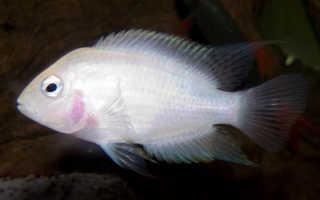 Цихлазомы фламинго (рыбка розовая цихлида): содержание, размножение (разведение), совместимость, происхождение, корм