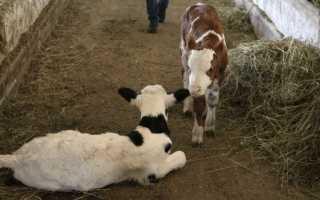 Антибиотик Биомицин для животных: показания к применению в ветеринарии, состав, схемы лечения цыплят и коров