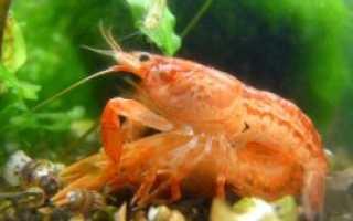 Как размножаются раки в домашнем аквариуме: отличия самца от самки, как рождаются, разведение, питание, рост потомства