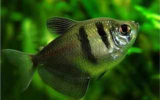 Аквариумная рыбка тетра: виды, содержание и уход, совместимость с другими рыбками, фото, размножение, кормление