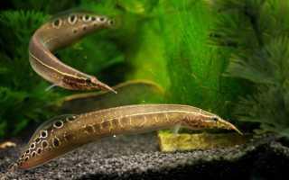 Макрогнатус глазчатый (аквариумный угорь): уход, совместимость с другими рыбками, содержание рыбки, фото, продолжительность жизни