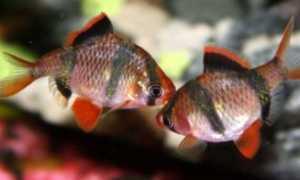 Размножение барбусов (разведение) в домашних условиях: нерест, отличия самки от самца, беременность, в общем и отдельном аквариуме, мальки (выращивание,