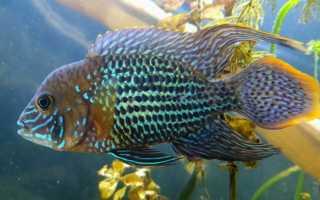 Акара бирюзовая: содержание, совместимость, описание рыбки, кормление в аквариуме, виды, особенности разведения