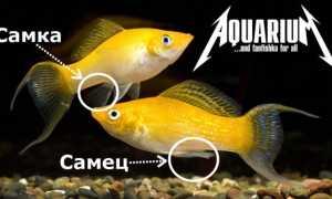 Моллинезия черная (рыбка): отличия самца от самки, размножение, беременная самка, болезни, содержание в общем аквариуме, мальки