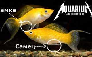 Моллинезия размножение: мальки, беременность, роды, разведение (нерест) аквариумной рыбки, чем кормить в домашних условиях