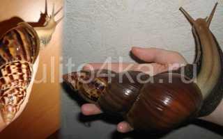 Ахатина фулика (achatina fulica): уход, содержани, виды (родация, альбино, хемели, стандарт), размножение, кормление, сколько живут, размер, фото
