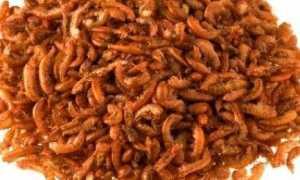 Гаммарус – корм для аквариумных рыбок: разведение в домашних условиях, хранений (живой, сухой, замороженный), чем питается