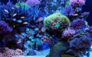 Голубой хирург (рыбка paracanthurus hepatus): виды (белогрудый или leucosternon, lineatus, triostegus, японский, pyroferus), содержание, кормление, совместимость