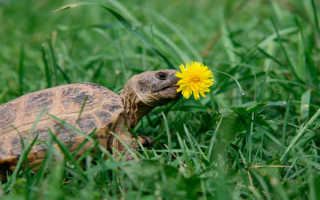 Красноухая черепаха не ест, вялая и спит в домашних условиях: почему перестала есть, что делать, можно ли заставить, причины